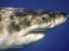 Blue Eyed Shark