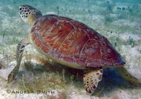 Turtle on eelgrass