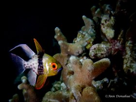 Coral Cardinalfish, Yap, Micronesia- Rainbow reef at sunset while waiting for mandarin fish to mate. This cardinal fish is waiting to eat the eggs!
