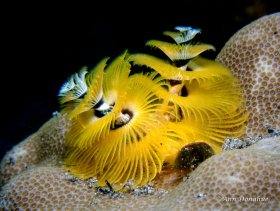 Yellow Xmas tree Worm - Banda Sea.  Always a favorite subject of mine, these amazing worms have beautiful delicate arms.