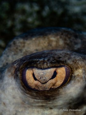 Stingray Eye -Little Cayman.  This stingray was very approachable while it was hiding in the sand.