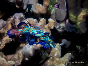 Mandarin Couple - Yap.  At Sunset, many mandarin fish come up to mate at Rainbow reef in Yap. Patience is required to capture them together. This was seconds before the actual mating.