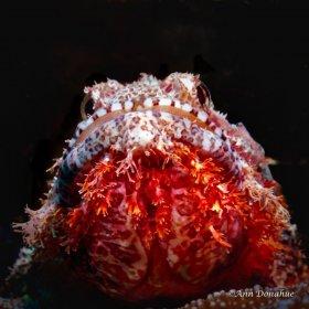 Bearded Scorpion fish - Wakatobi.  Getting low under the fish emphasized his glowing beard.