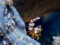 Anemone Sexy Shrimps - Solomon Islands. These ones were showing off for the camera!