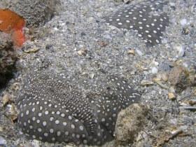 Southern stargazer, Astroscopus y-graecum , Lake Worth Lagoon, Riviera Beach, FL. © Anne DuPont, All Rights Reserved.