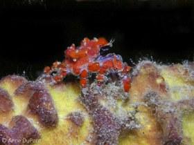 Cryptic Teardrop crab, Pelia mutica, night dive, Town Pier, Kralendijk, Bonaire. © Anne DuPont, All Rights Reserved.