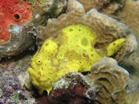 Longlure frogfish, Antennarius multiocellatus, Bonaire, N.A. © Anne DuPont, All Rights Reserved.