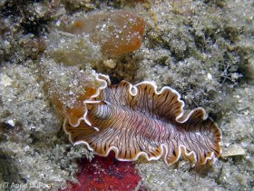 A Lined Flatworm, Maritigrella crozieri, feeding on tunicates, Lake Worth Lagoon, Riviera Beach, FL. © Anne DuPont, All Rights Reserved.