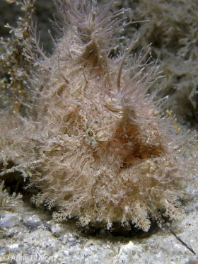 Striated frogfish, Antennarius striatus, Lake Worth Lagoon, Riviera Beach, FL. © Anne DuPont, All Rights Reserved.