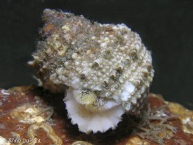 Chestnut Turban Shell, Lake Worth Lagoon. © Anne Dupont, All Rights Reserved.