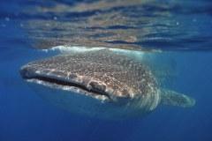 Whale shark, Rhincodon typus, Isla Mujeres, Mexico