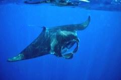 Manta ray, Manta birostri,s Isla Mujeres, Mexico