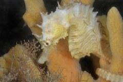 Lined seahorse Hippocampus erectus, Lake Worth Lagoon, Riviera Beach, FL