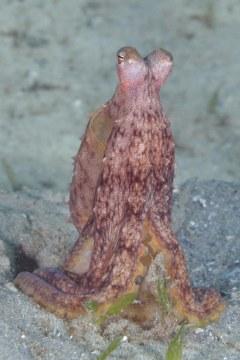 Atlantic longarm octopus,Octopus Defillippi, Lake Worth Lagoon, Riviera Beach, FL