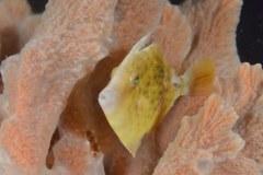 Filefish in sponge, Lake Worth Lagoon, Riviera Beach, FL