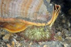 Cameo Helmet Cassis madagascariensis spinella at night Feeding on Variegated Sea Urchin Lytechinus variegatus in Lake Worth Lagoon, Riviera Beach, FL