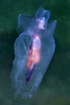 Sea Angel (Pneumoderma violaceum) drifting in current, in Lake Worth Lagoon, Riviera Beach, FL