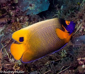 Angelfish - Taken in Palau