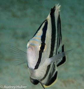Butterfly Fish - Bonaire
