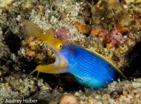 Ribbon eel - Anilao Philippines