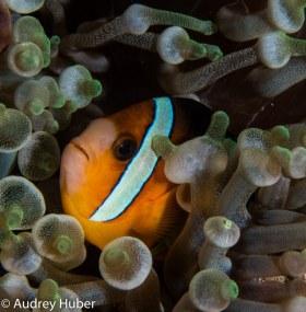 Clownfish 2 - Anilao Philippines
