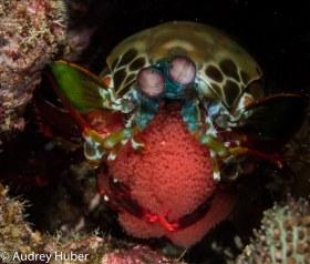 Peacock shrimp - Anilao Philippines