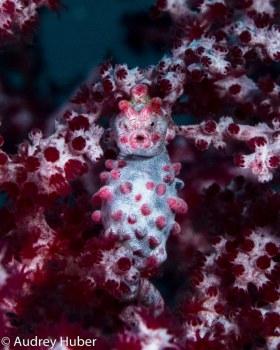 Pregnant Pygmy Seahorse - Anilao Philippines
