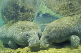 West Indian Manatee, Trichechus manatus, Homosassa River, Florida.
