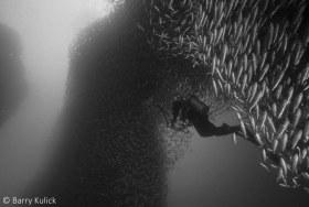 Diver dwarfed by a living arch of Black Striped Salema, Xenocys jessiae