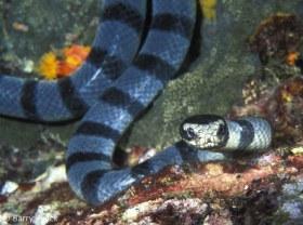 Banded Sea Krait, Laticauda colubrian