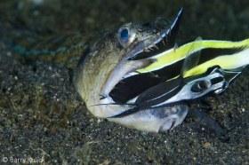 Snakefish Trachinocephalus myops devouring a Moorish Idol Zanclus cornutus