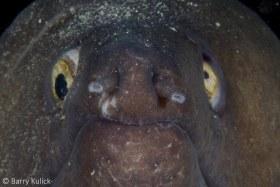 Purplemouth Moray, Gymnothorax vicinus