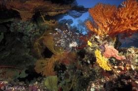 Lionfish Scenic, Pterois volitans, Marovo Lagoon,