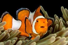 False Clown Anemone Fish, Raja Ampat, Indonesia