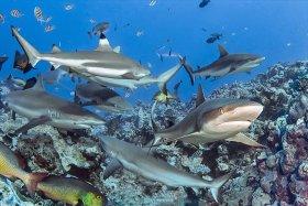 Sharks, Yap, Micronesia