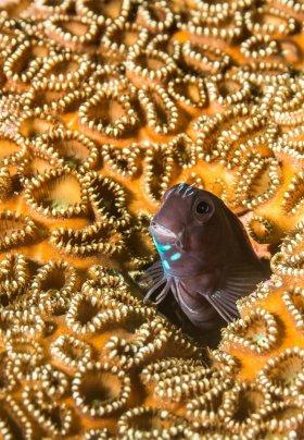 Blennie in Hard Coral, Philippines