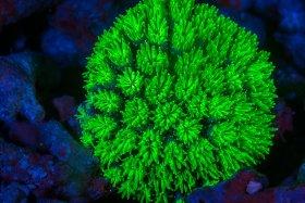 Flourescent Coral, Solomon Islands