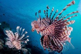 Lionfish Couple, Solomon Islands