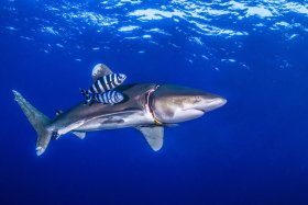 Oceanic Whit Tip Shark, Southern Red Sea