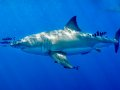 Great White Shark, Guadelope, Mexico