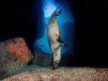 Sky Diving Sea Lion, La Paz, Mexico