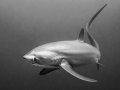 Thresher Shark, Malapascua, Philippines