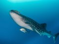 Whale Shark, Tubbataha, Philippines