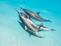 Spinner Dolphins, Satay Bay, Southern Red Sea