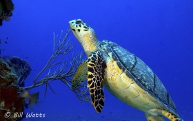 Green Sea Turtle taken at Cozumel, Mexico.  © Bill Watts, All Rights Reserved.