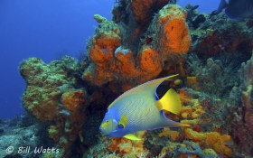 Queen Angelfish taken in Cozumel Mexico.  © Bill Watts, All Rights Reserved.