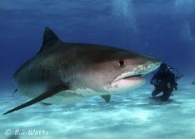 Tiger Shark taken at Tiger Beach, Bahamas.  © Bill Watts, All Rights Reserved.