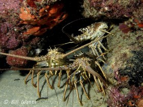 Caribbean Spiny Lobster  taken off Boynton Fl, just before lobster season opened.  © Bill Watts, All Rights Reserved.