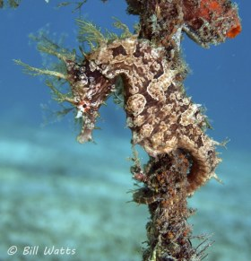 Lined Seahorse, Lake worth Lagoon.  © Bill Watts, All Rights Reserved.