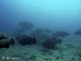 Goliath Grouper spawning aggregation on the Zion wreck  off Jupiter FL.  © Bill Watts, All Rights Reserved.